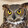 The Beautiful Face of a Great Horned Owl