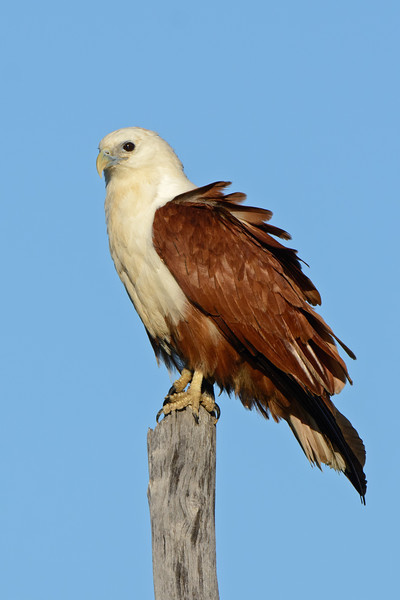 Brahminy Kite, Federation Walk Coastal Reserve,