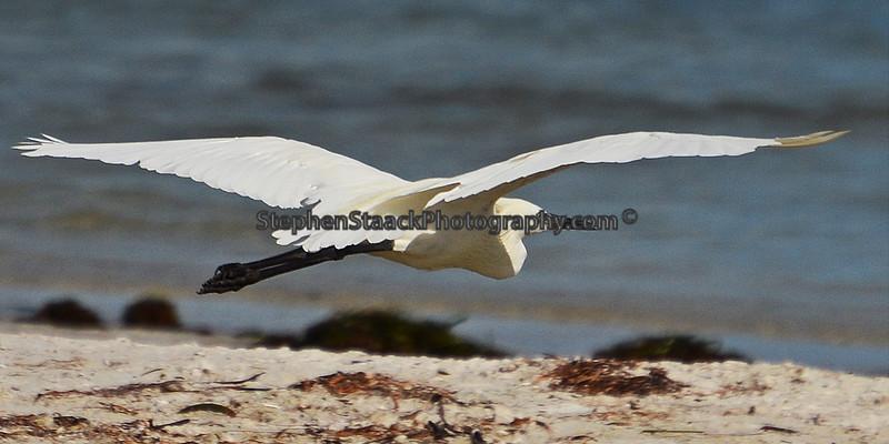A Little Egret in flight.