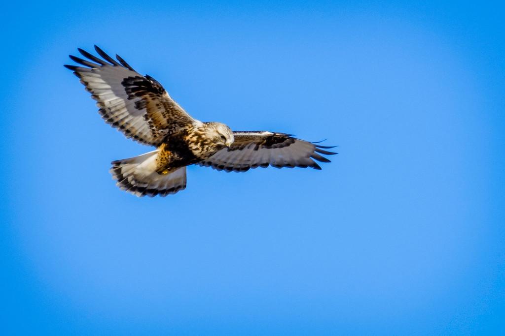Roughlegged Hawk, Buteo lagopus