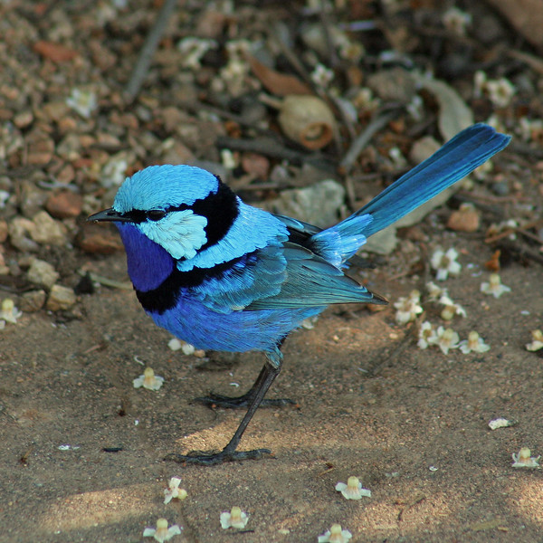 Male Splendid Fairy-wren (Malurus splendens)