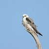 Black-shouldered Kite, Federation Walk Coastal Reserve, Gold Coast, QLD
