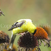 Spinus tristis – American goldfinch on Echinacea 1