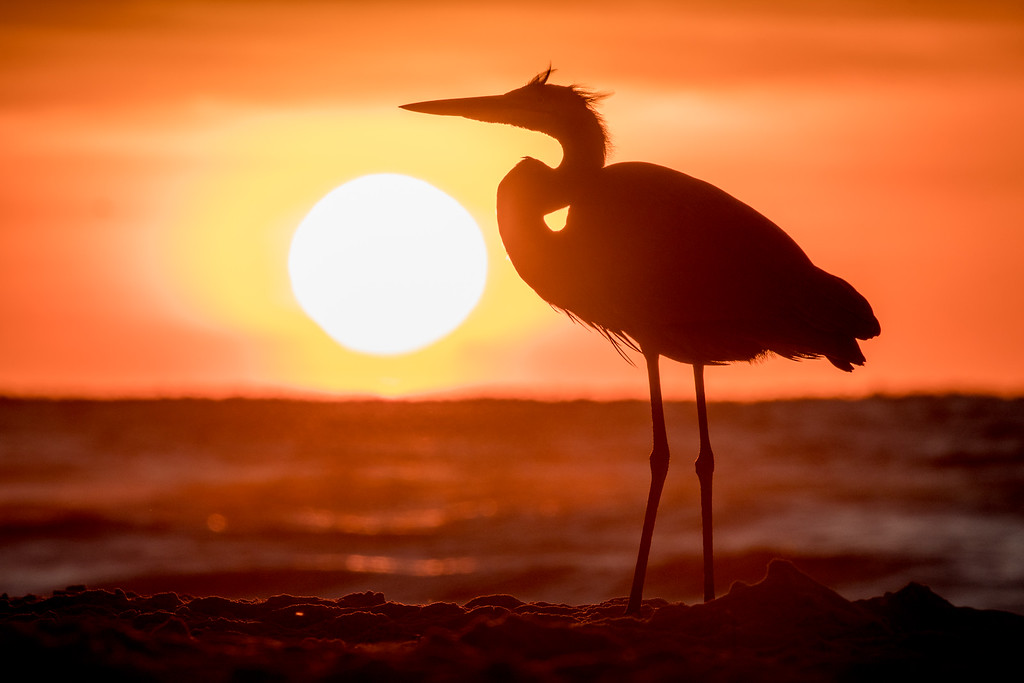 IMAGE: https://photos.smugmug.com/Birds/i-44LPr6p/0/XL/Orange%20Beach%2010092016-296-XL.jpg