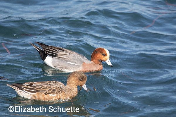 Duck Couple