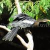 Anhinga anhinga – Snakebird 1