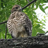 Baby Hawk Close-Up View 1