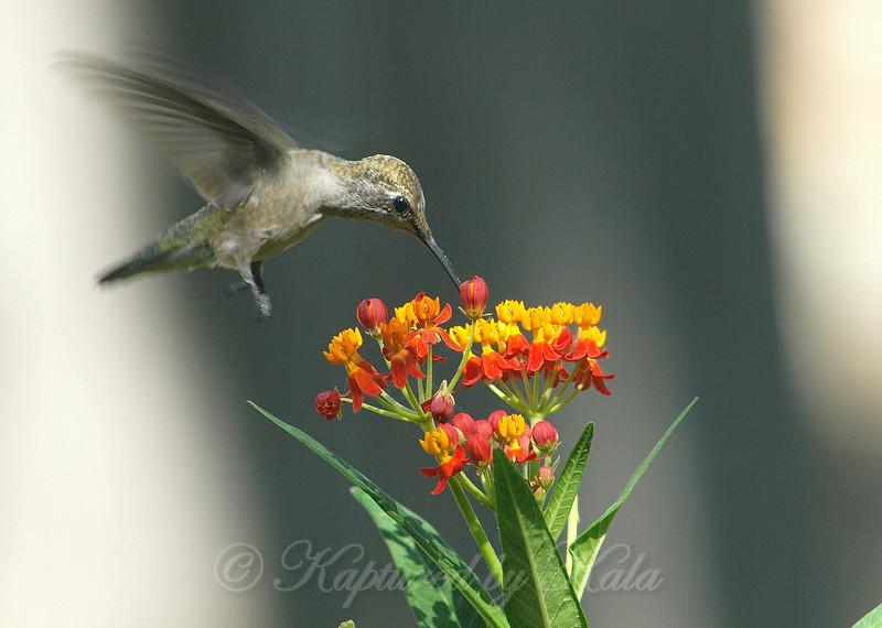 Hummingbirds Like Milkweed View 2