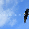 Haliaeetus leucocephalus – Bald eagle flying 1