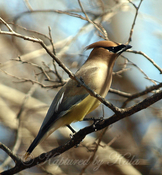 Immature Cedar Waxwing, No Red on the Wings
