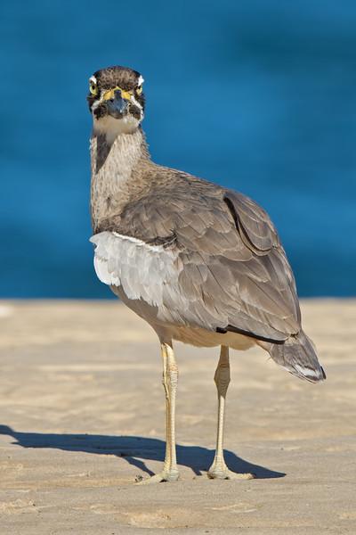 Beach Stone-curlew, The Broadwater, Gold Coast, QLD, Australia.