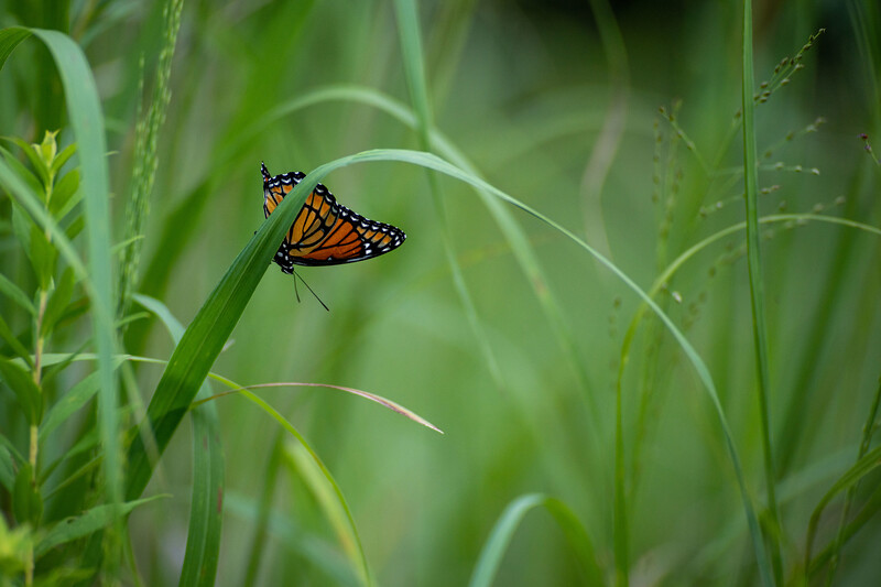 Viceroy Butterfly in Purdue's Horticulture Park