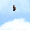 The Scream of the Hawk