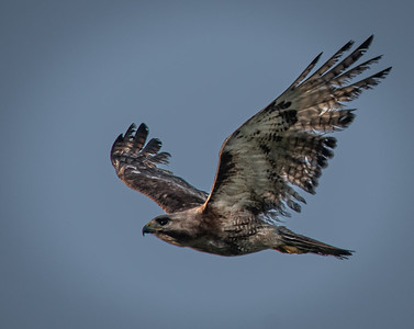 "Red-tailed Hawk ""Scrappy"" flying"