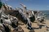 Pelican 50