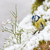 Bluetit & Bilberry