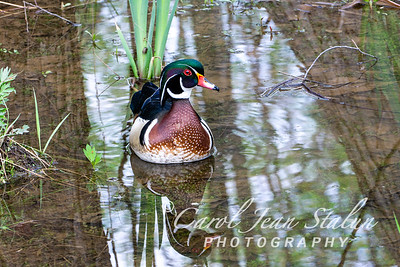 A Wood Duck swims in the water at Roosevelt Island in Washington, DC on April 12, 2015.