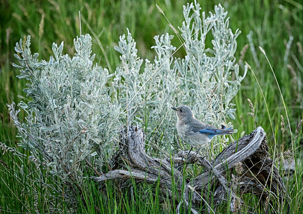 Female Bluebird in Sagebrush