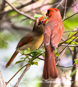 Male Cardinal feeding his mate (2)
