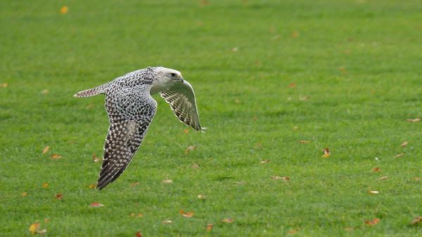 Gyrfalcon cross with Saker Falcon - Northcroft Newbury