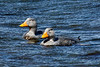 Flying Steamer-Duck (Tachyeres patachonicus).  Strait of Magellan.  Near Rio Seco, Southern Patagonia, Chile.