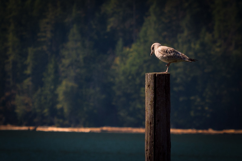 Gull and Pier