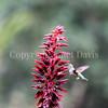 Calypte anna – Anna's hummingbird 3
