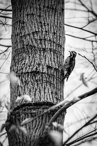 Yellow-bellied Sapsucker at Riverbend Park
