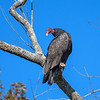 Turkey Vulture (Cathartes aura).jpg