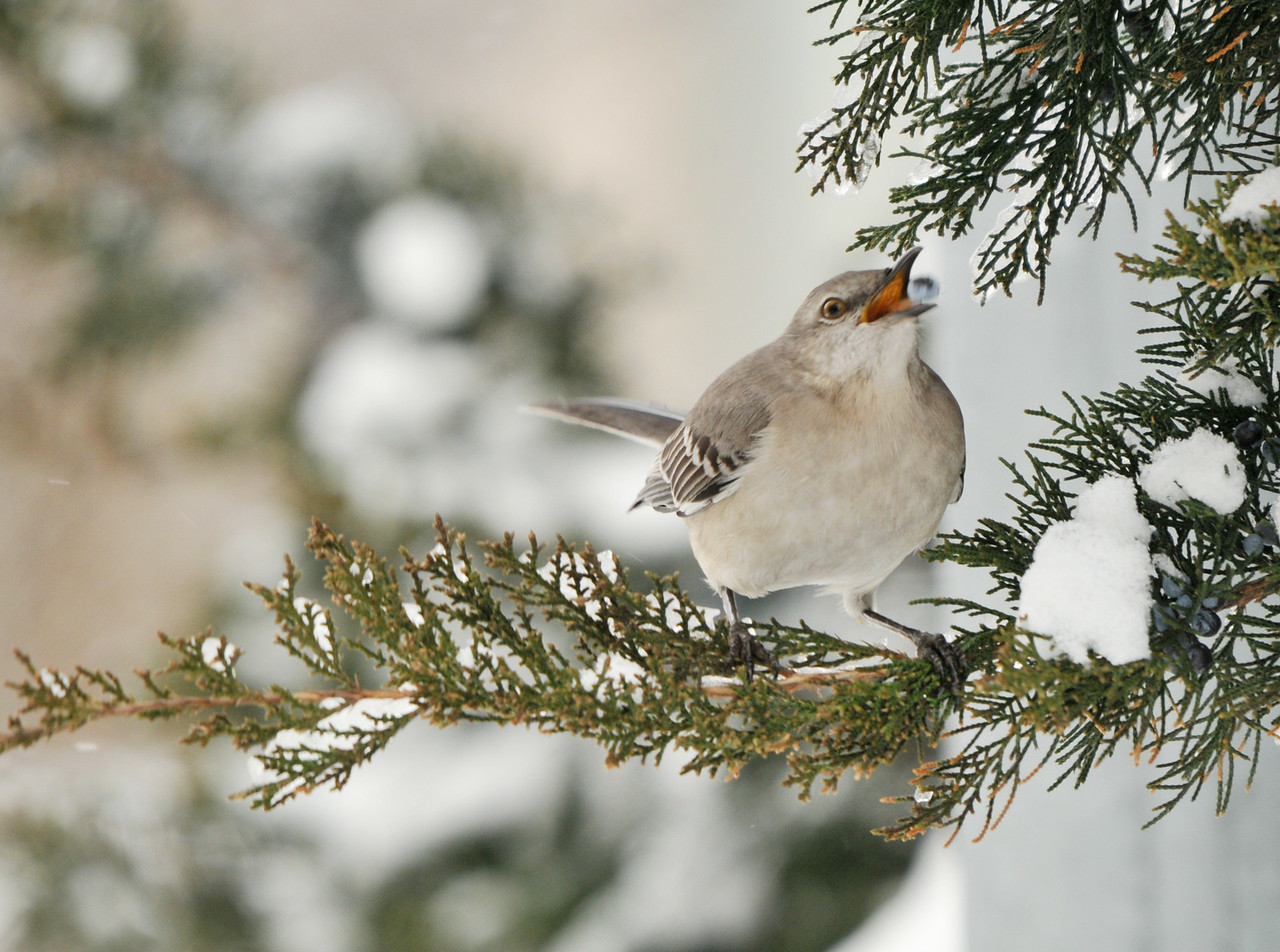 Hungry Mockingbird