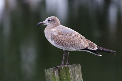 """Serene Gull"""