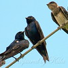 Friendly Purple Martins