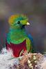 Resplendent Quetzal (male ) #1