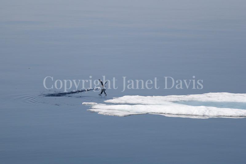 Fulmarus glacialis - Northern fulmar 6