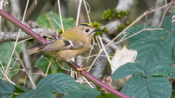 Goldcrest at Woolhampton - 11th November2019