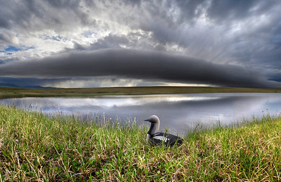 Storm clouds approach the nest of a Pacific Loon. Arctic National Wildlife Refuge, Alaska. July, 2010.