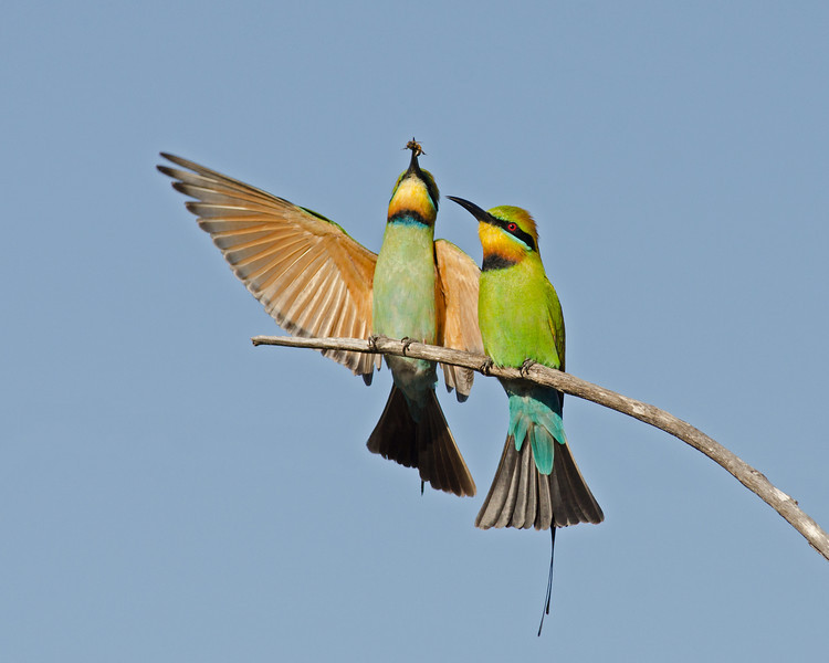 Bee-eaters, The Spit, Gold Coast. Qld.