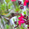 Red Salvia & Hummingbirds