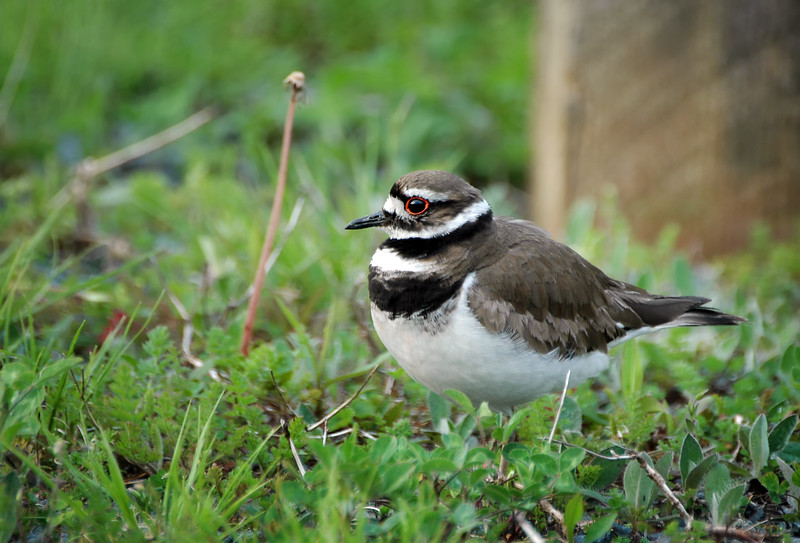 Killdeer - Oakfield, Nova Scotia