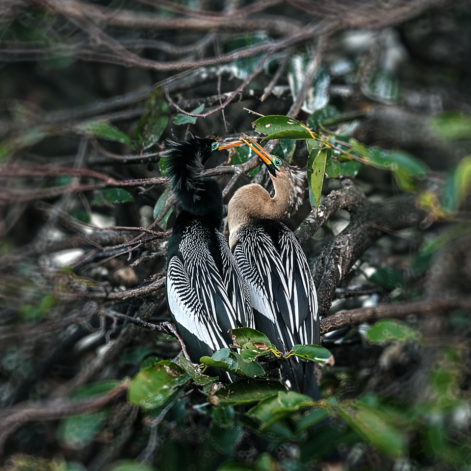 Male Anhinga on left (black) female on right (brown)