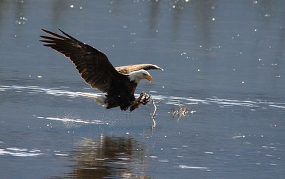Bald Eagle on the hunt
