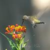 Hummingbirds Like Milkweed View 4
