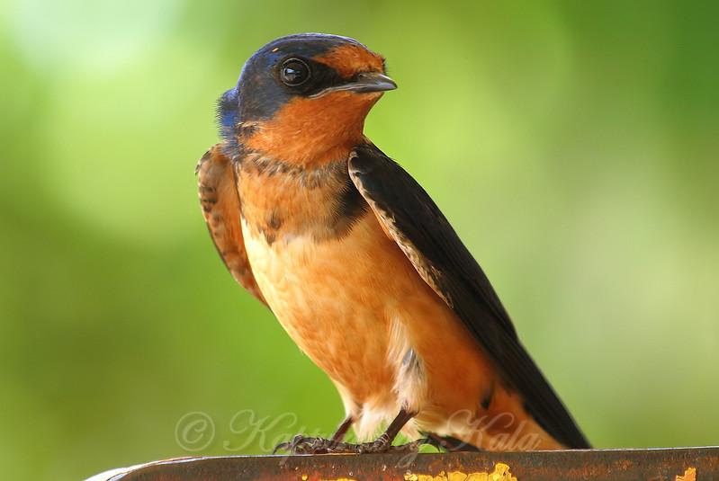 Barn Swallow Giving Me The Eye