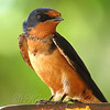 Barn Swallow Giving Me The Eye