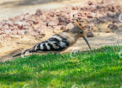Duchifat Hoopoe Bird Hunting Grubs