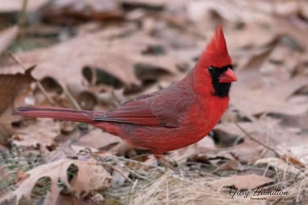 northern cardinal-male