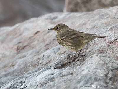 Rock Pipit at Charmouth 2