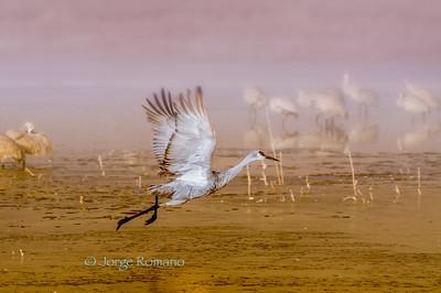 Sandhill Crane takeoff