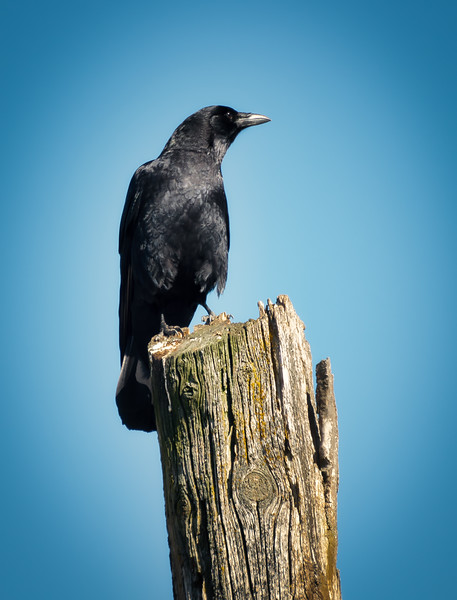 Crow On Log