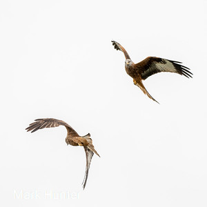 Red Kite Dance